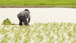 Farmer Planting Rice Seedlings in a Rice Paddy Footage