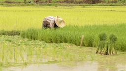 Thai Farmer Transplanting Rice Seedlings Stock Video Footage