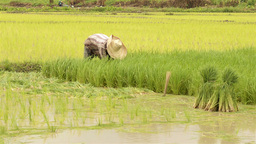 Thai Farmer Transplanting Rice Seedlings Stock Video Footage