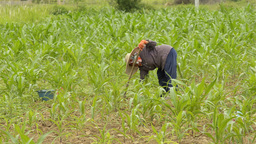 Thai Woman Working in a Corn Field Stock Video Footage