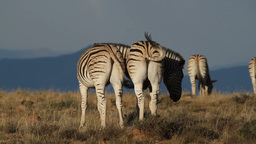 Plains Zebras Stock Video Footage