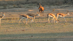 Springbok antelopes Stock Video Footage