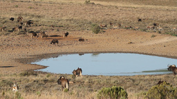 Wildebeest and antelopes at a waterhole Stock Video Footage
