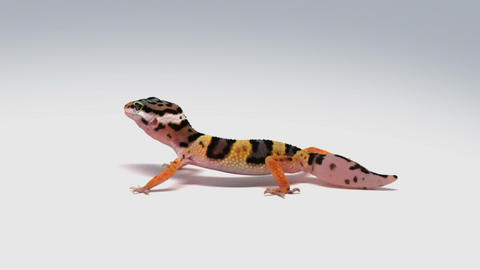 Hungry Leopard Gecko stock footage