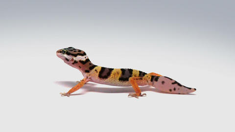 Hungry Leopard Gecko Stock Video Footage