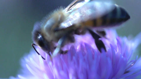 Bee extreme close up Stock Video Footage