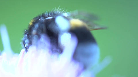 Bumblebee extreme close up Footage