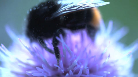 Bumblebee Extreme Close Up stock footage