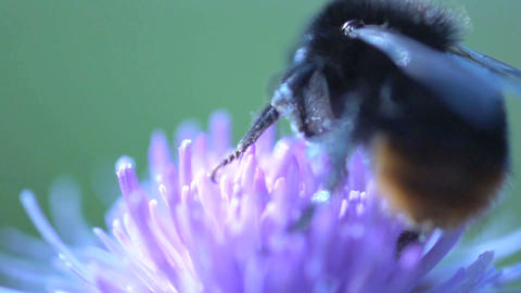 bumblebee flying away Stock Video Footage