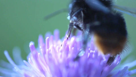 bumblebee flying away Stock Video Footage