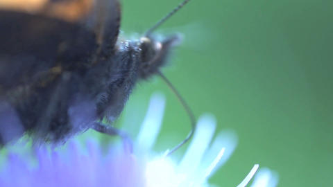butterfly Extreme close up Footage
