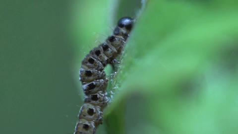 Caterpillar extreme close up Footage