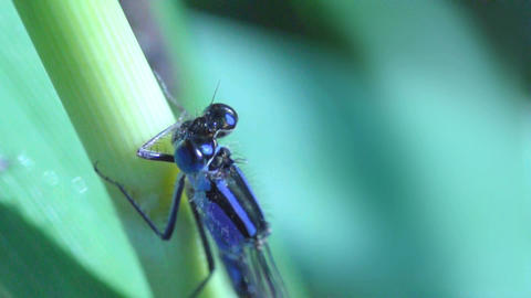 Blue dragonfly extreme close up Footage