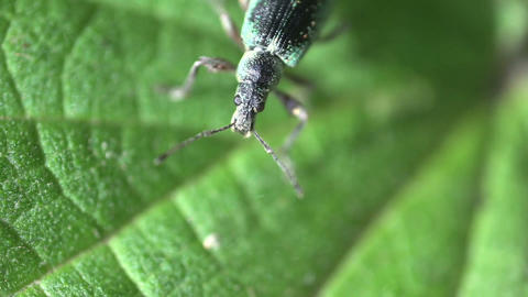 Green Immigrant Leaf Weevil Stock Video Footage