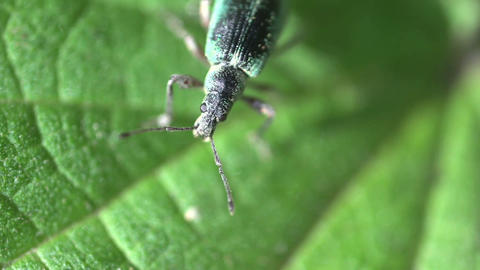 Green Immigrant Leaf Weevil Footage