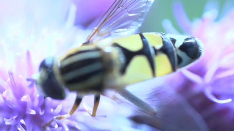 Hoverfly extreme close up Stock Video Footage