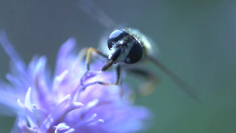 Hoverfly extreme close up Footage