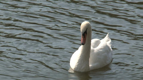 Swan close-up Stock Video Footage