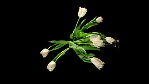 Tulips timelapse Stock Video Footage