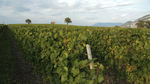 Vineyard - DOLLY Footage