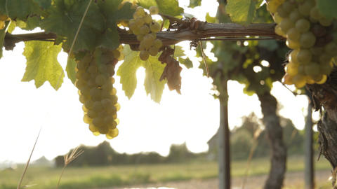 Vineyard - DOLLY Footage