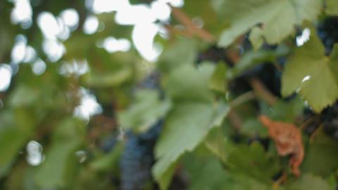 Vineyard - DOLLY Stock Video Footage