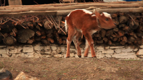 Funny calf Stock Video Footage