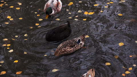Ducks dive under water among yellow leafs Stock Video Footage