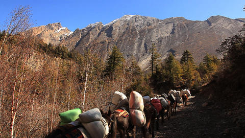 Transportation Of Goods On Mules In Himalayas stock footage