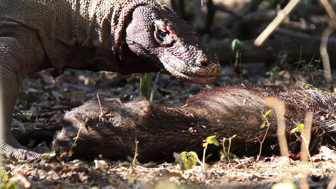 Victim of Komodo Dragon Live Action