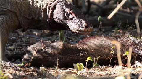 Victim of Komodo Dragon Footage