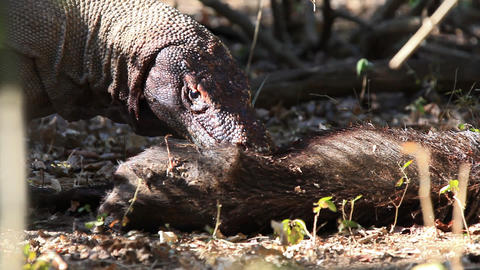 Victim of Komodo Dragon Stock Video Footage