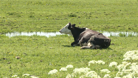 Cow In Pasture Stock Video Footage