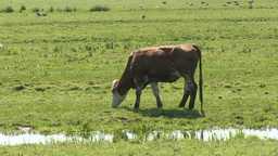 Cow walking and grazing Stock Video Footage
