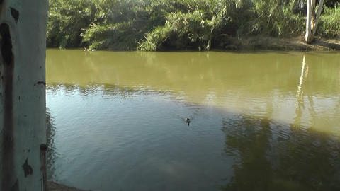 Ducks at river Stock Video Footage