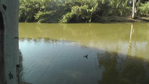 Ducks At River stock footage