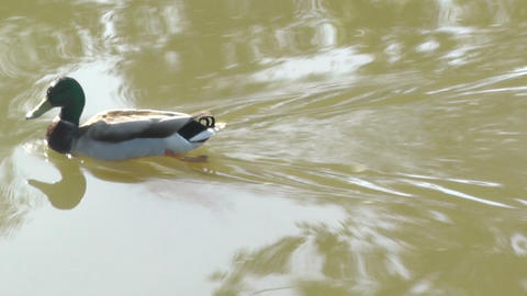 Swimming duck on a pond Stock Video Footage