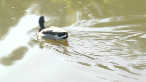 Swimming duck on a pond Footage