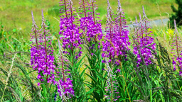 fireweed swaying in the wind Stock Video Footage