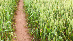 wheat on the field Stock Video Footage