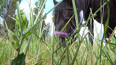 Black horse eats grass Stock Video Footage
