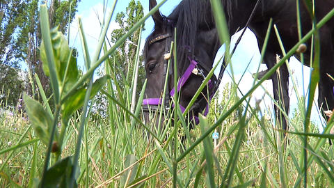 Black horse eats grass Footage