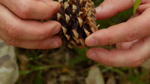 Pine cone in the hands of men Stock Video Footage