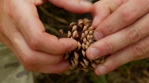 Pine Cone In The Hands Of Men stock footage