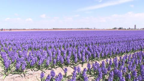 Purple hyacinths Stock Video Footage