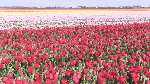 Red And Pink Flowers Stock Video Footage