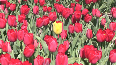 Red Tulips And One Yellow Stock Video Footage