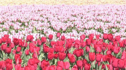 Red Multicolored Tulips Stock Video Footage
