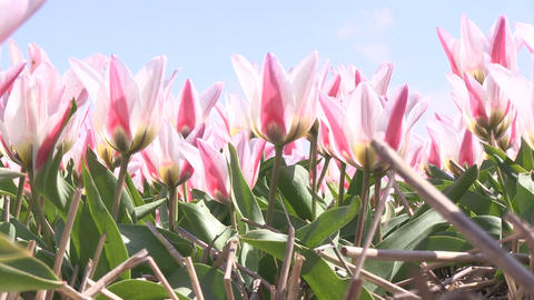 Low Angle Multicolored Tulips Footage