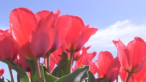 Red Tulips lowangle Stock Video Footage